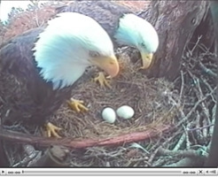bald_eagle_webcam.jpg